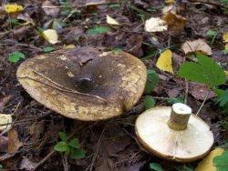 сухарка гриб фото